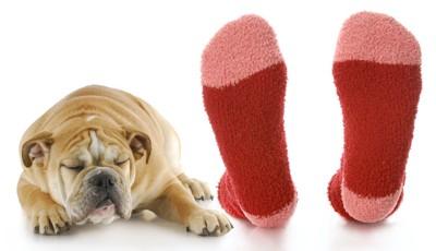 飼い主の靴下の臭いを嗅ごうとしている犬