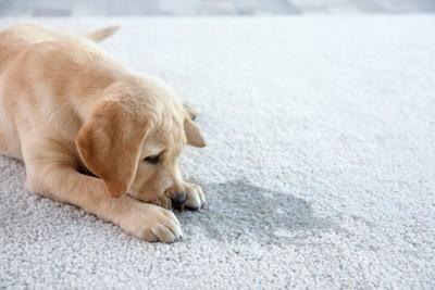 粗相した場所の匂いを嗅ぐ子犬