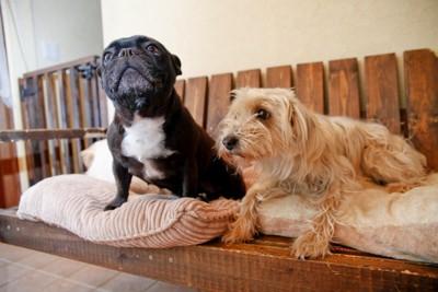 短毛種と長毛種の犬