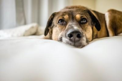 ベッドで伏せている犬