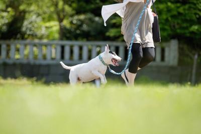 公園で飼い主と走るブルテリア