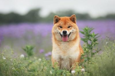 草花に囲まれた中で笑顔で座る柴犬