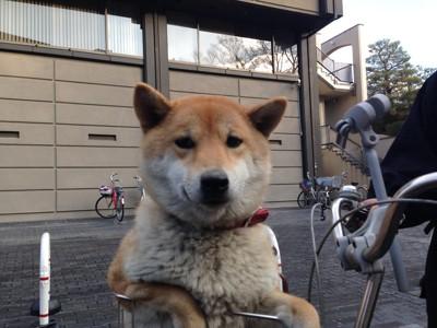 自転車かごに柴犬