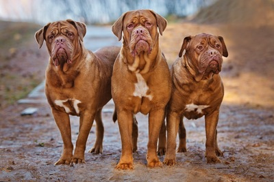 大きな3匹の犬