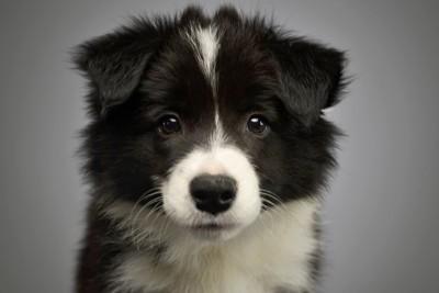 伏せた姿勢のボーダーコリーの子犬