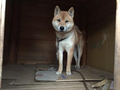 犬舎の柴犬