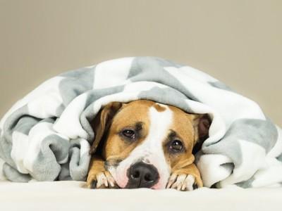 毛布にくるまって寝る犬