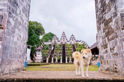 バリ島の寺院の薄茶の犬