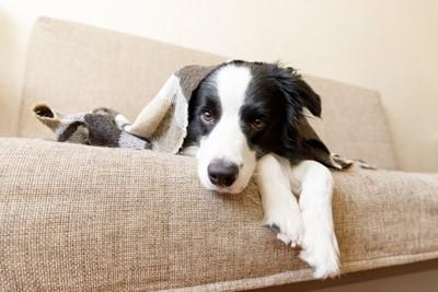 ソファで寝転がる犬