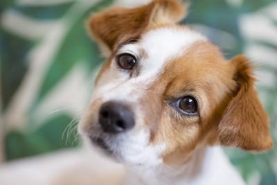 首をかしげて見上げる白茶の犬
