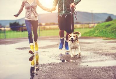 カップルと散歩するビーグル