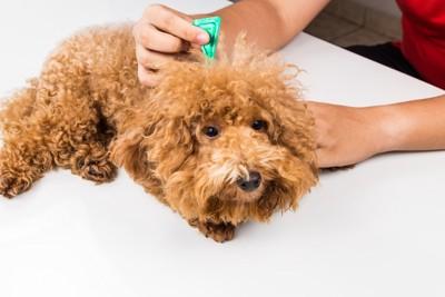 ダニ予防の薬をしている犬