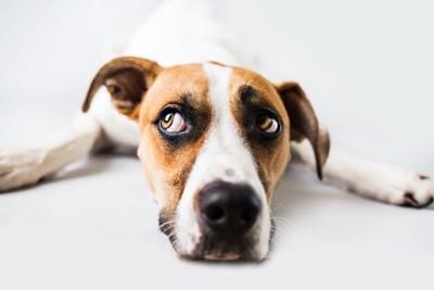 伏せて視線をずらしている犬
