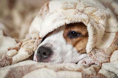 ブランケットに包まれて眠る犬