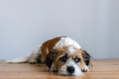 床に伏せて別の方向を見る犬