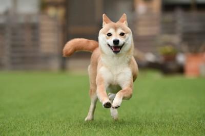 耳を後ろに倒して走る柴犬