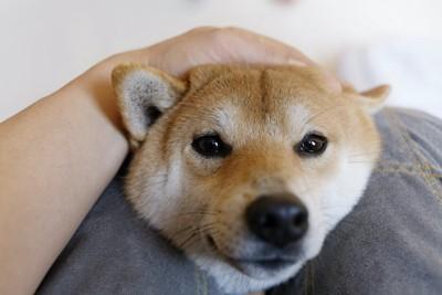 飼い主の膝に顔をのせて頭を撫でられる柴犬