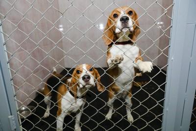 ケージの中から外をみる2匹のビーグル犬