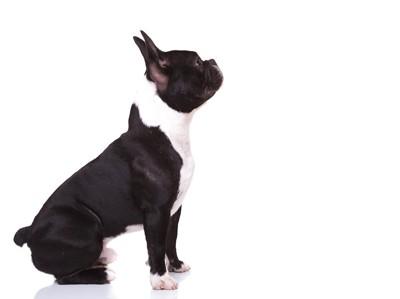 座る黒白のフレンチブルの子犬