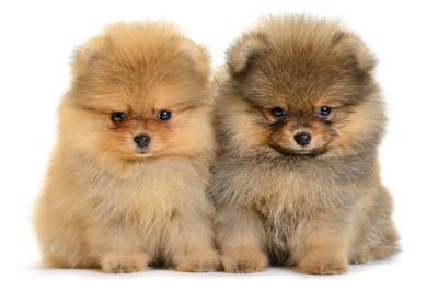 ポメラニアンの子犬2頭