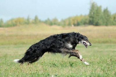 草原で走るボルゾイ
