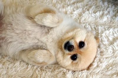 お腹を見せ寝ながらこちらを見つめている犬