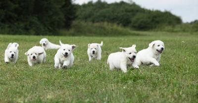 芝生を走るたくさんの子犬たち