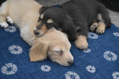 眠る2匹の子犬