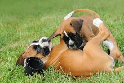 じゃれあう2匹のボクサー犬