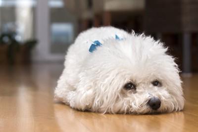 床にうつ伏せになる犬