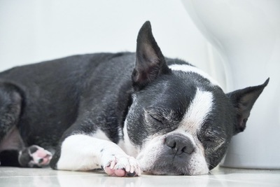 昼寝をしているフレンチブルドッグ