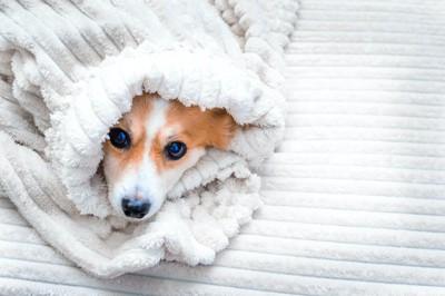 毛布にくるまって顔だけを出している犬
