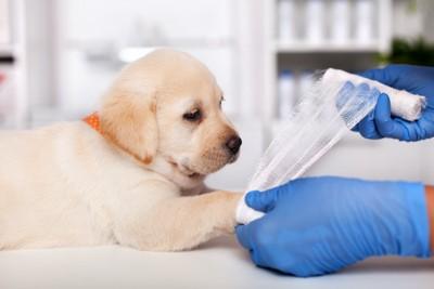 病院で包帯を巻かれている子犬