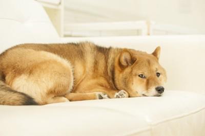 ソファーの上の柴犬