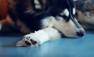 怪我している犬