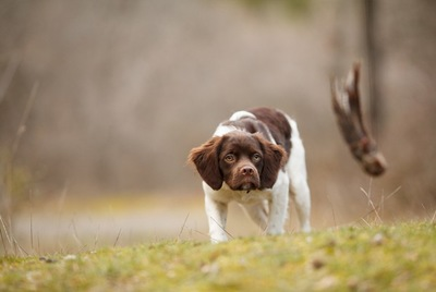 獲物を見つめている犬