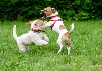 相手の犬に吠える犬