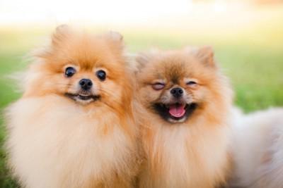寄り添って笑顔を見せる二頭のポメラニアン