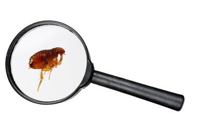 虫眼鏡で見たノミ