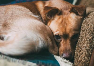 丸まった姿勢でこちらを見つめる犬