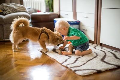 おもちゃを取り合う犬と男の子