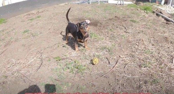 ボールを見つけたわんこ