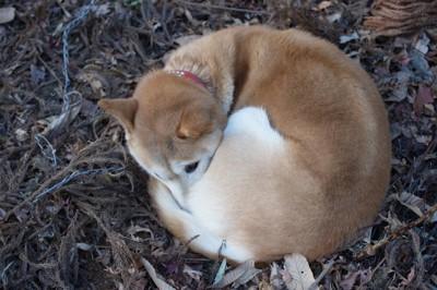 丸くなっている犬