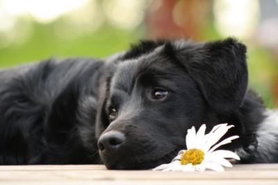 黒い犬と白い花