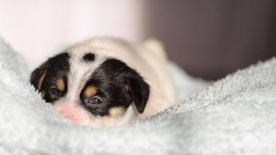 タオルの上で眠そうな子犬