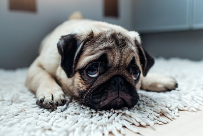 悲しそうな表情で伏せるパグ