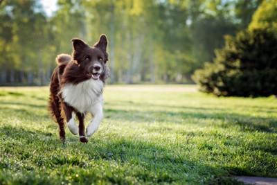 芝生の上を走る犬