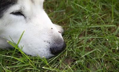 犬の鼻先に止まっている蚊