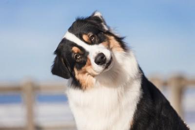 首をかしげる犬