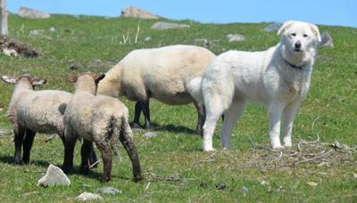 羊とピレニアンマウンテンドッグ